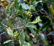 bunga-cengkih-3