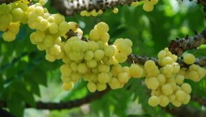 khasiat-buah-cermai-4