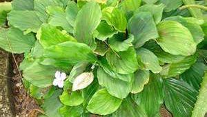 khasiat-herba-Cekur1