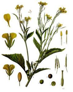 BrassicaJuncea