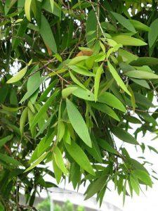 Pokok gelam 4