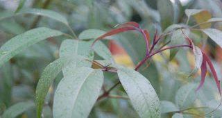 khasiat-daun-lemuni-1